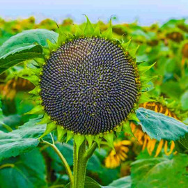 Семена подсолнечника Вороной