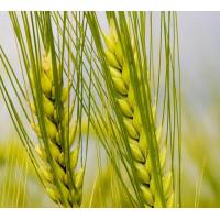Семена ячменя ярового Адапт