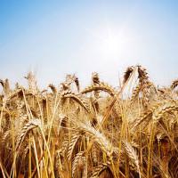 Семена пшеницы озимой Ампер
