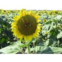 Семена ультрараннего сортового подсолнечника СУР, 75-80 дней