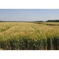 Семена пшеницы озимой (твердой) Гардемарин