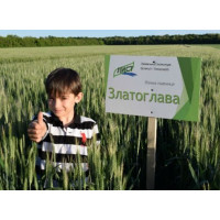 Семена пшеницы озимой Златоглава