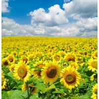 Семена подсолнечника Донбас ОР, 113-117 дней (7 расс заразихи), фракция экстра