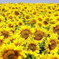 Семена подсолнечника Лиман ОR Стандарт